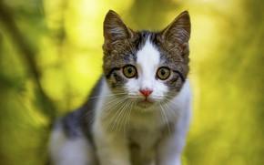 Картинка кошка, взгляд, морда, природа, поза, котенок, портрет, зеленый фон, боке, пятнистый, серый с белым