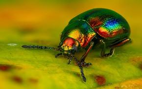 Картинка макро, желтый, яркий, зеленый, фон, листок, жук, красавчик, блестящий, радужный, наскомое