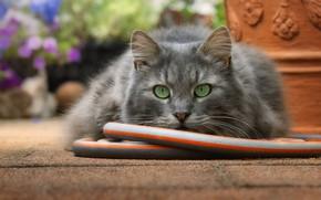 Картинка кошка, кот, взгляд, морда, сад, серая, шланг, зеленые глаза, вазон