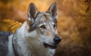Картинка осень, взгляд, морда, листья, природа, фон, волк, портрет, собака, папоротник, красавец, пёс, боке, волчья, волчья …