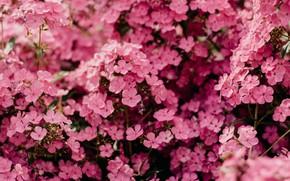 Картинка Цветы, Природа, Pink, Растение, Растения, Nature, Beautiful, Flower, Flowers, Flora, Plants, Botanical, Blossom, Blooming, Bloom, …