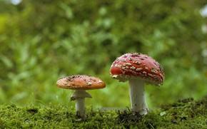 Картинка лес, грибы, мох, мухоморы