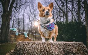 Картинка пень, собака, корги