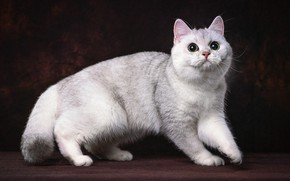 Картинка кошка, темный фон, белая, фотоарт, манчкин