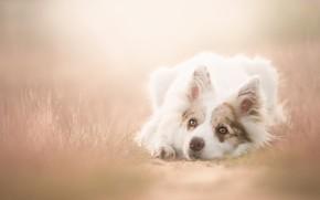 Картинка трава, взгляд, природа, туман, собака, лежит, белая, тропинка