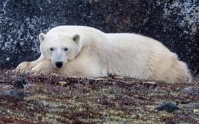 Картинка взгляд, медведь, лежит, Полярный медведь, Белый медведь