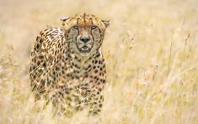 Картинка трава, солнце, природа, хищник, гепард, боке