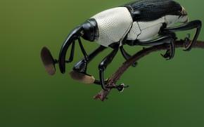 Картинка макро, жук, насекомое, трубконосик