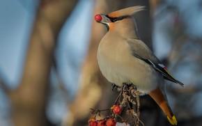 Картинка ветки, ягоды, фон, птица, клюв, плоды, свиристель, ягодка