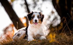 Картинка природа, собака, аусси