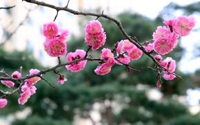 Картинка цветы, ветка, весна, сакура, розовые, цветение, боке