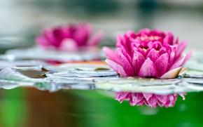 Картинка яркий, отражение, водяная лилия, размытие, нимфея, цветок, розовый, боке, листья, озеро, водоем, кувшинка, пруд