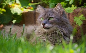 Картинка кошка, трава, кот, природа, портрет