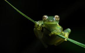 Картинка взгляд, макро, поза, листок, лягушка, лапки, черный фон, зеленая, травинка, висит, квакша