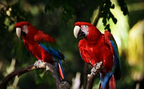 Картинка листья, птицы, ветки, темный фон, птица, размытие, попугай, красные, попугаи, боке, ара, два попугая