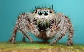 Картинка глаза, взгляд, макро, поверхность, поза, фон, лапки, паук, мохнатый, бирюзовый, прыгун, джампер, паучок, скакунчик, прыгунчик, ...