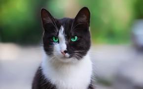 Картинка кошка, взгляд, морда, фон