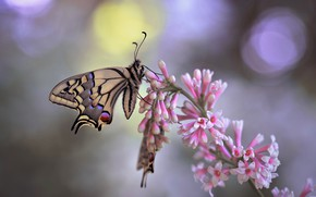 Картинка макро, бабочки, природа, ветка, сирень, боке, махаон