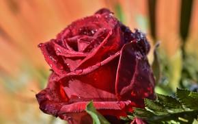 Картинка капли, макро, роза, бутон, красная