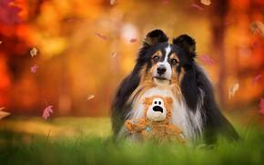 Картинка осень, трава, взгляд, морда, листья, природа, парк, фон, листва, игрушка, собака, мишка, лежит, листопад, тедди, …
