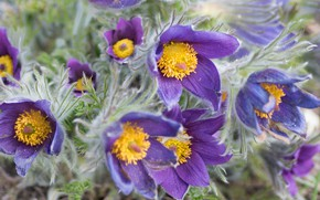 Картинка цветы, букет, весна, бутоны, много, сиреневые, прострел