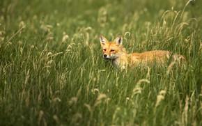 Картинка поле, трава, лиса