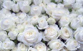 Картинка фон, розы, белые, бутоны, красивые