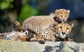 Картинка свет, поза, отдых, камень, гепард, три, малыши, трио, мама, лежат, боке, детеныши, гепарды