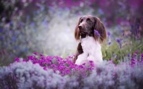 Картинка лето, взгляд, морда, цветы, природа, поза, фон, настроение, поляна, портрет, красота, собака, сад, розовые, сидит, …