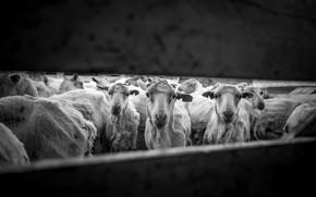 Картинка овцы, стадо, человечество