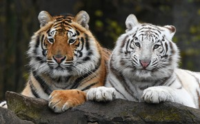 Картинка белый, взгляд, тигр, темный фон, портрет, пара, тигры, дуэт, два, морды, лежат, два тигра