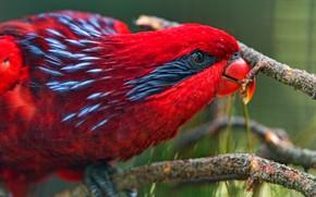 Картинка взгляд, крупный план, красный, яркий, птица, попугай