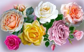 Картинка grafika, kwiaty, róża