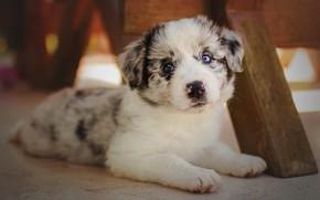 Картинка белый, взгляд, фон, собака, малыш, мордочка, милый, щенок, лежит, голубые глаза, пятнистый, аусси