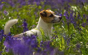 Картинка зелень, лето, трава, взгляд, морда, свет, цветы, поляна, собака, фиолетовые, профиль, сиреневые, боке, пёсик, Джек-рассел-терьер