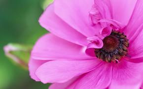 Картинка макро, розовая, лепестки, Анемона