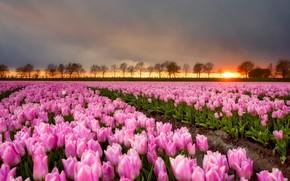 Обои поле, небо, солнце, деревья, пейзаж, закат, цветы, природа, вечер, сад, горизонт, тюльпаны, розовые, грядки, много, ...