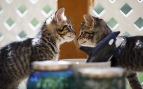 Картинка кошки, котенок, мордочка, котята, банки, котёнок, малыши, парочка, два, боке, два котенка