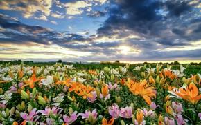 Обои поле, небо, облака, цветы, лилии, много