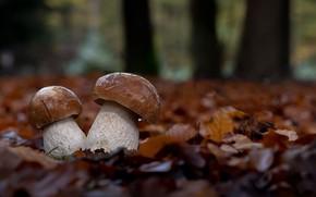 Картинка грибы, осень, природа