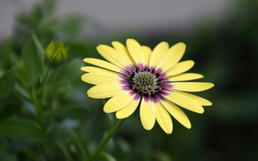 Обои цветок, остеоспермум, африканская ромашка