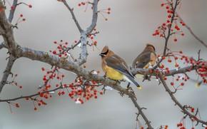 Картинка зима, снег, птицы, ветки, ягоды, фон, дерево, птица, плоды, красные, серый фон, парочка, свиристель, свиристели, …