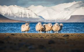 Картинка горы, природа, овцы
