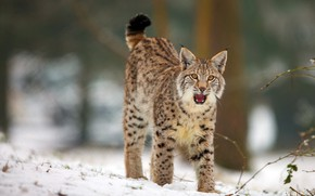 Обои зима, лес, язык, кошка, взгляд, снег, поза, пасть, красавица, рысь