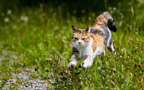 Картинка зелень, кошка, лето, трава, взгляд, морда, цветы, природа, поза, прыжок, луг, бег, клевер, прогулка, боке, …