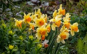 Картинка яркие, желтые, сад, нарциссы