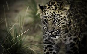 Картинка хищник, пятна, леопард