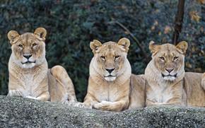 Картинка природа, отдых, хищники, трио, большие кошки, львицы