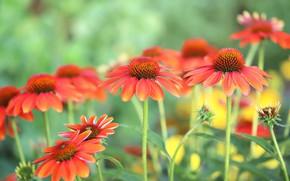 Картинка лето, цветы, сад, красные, оранжевые, зеленый фон, боке, рудбекия, эхинацея