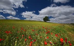 Картинка пшеница, поле, лето, небо, цветы, синева, маки, колосья, злаки